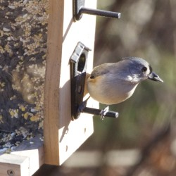 Tufted titmouse expands its range