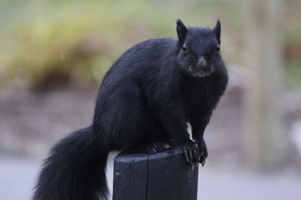 A black squirrel. Photo available through http://creativecommons.org/licenses/by-sa/3.0/