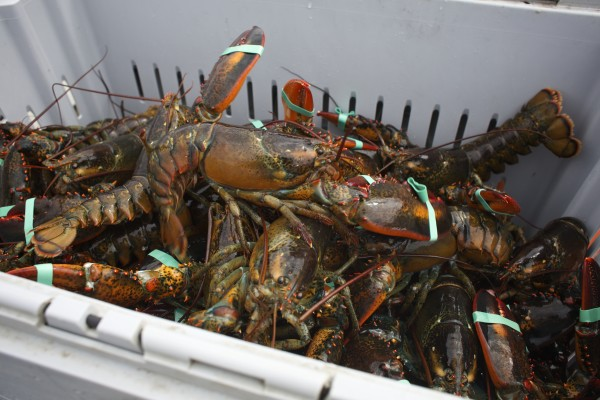 Lobster lay in a crate at the Stonington Lobster Co-op dock Aug. 15, 2014.