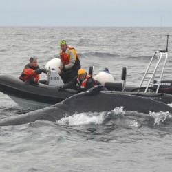 Search for entangled whale off MDI comes up empty