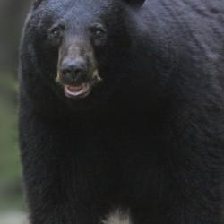 A black bear walks near Taylor Bait Pond in Orono.