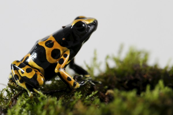 A Dendrobates leucomelas frog is pictured at a terrarium in Caracas, Venezuela, on Nov. 30. Venezuelan frogs and toads are in critical danger due to climate change as rising temperatures complicate reproduction and spread a deadly fungus, say scientists.