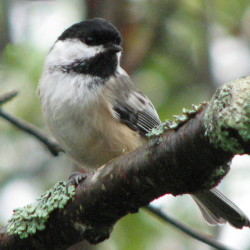 One hazard Mainers encounter during the annual Christmas Bird Count: They may end up counting dozens of black-capped chickadees.