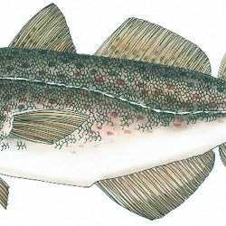 Gulf of Maine cod limits to be reduced 77%