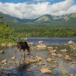 Sandy Stream moose