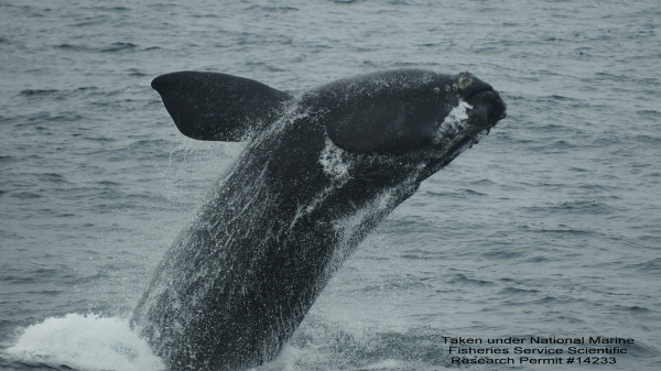 A North Atlantic right whale breaches on Nov. 16, 2010, in Jordan Basin in the Gulf of Maine.