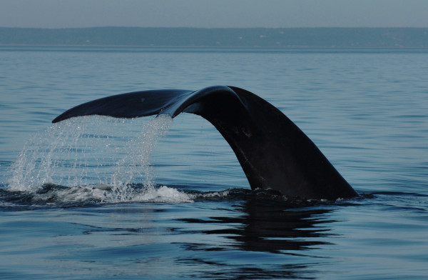 A North Atlantic right whale shows its fluke as it dives in the Bay of Fundy in August 2009.