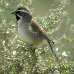 Savanna sparrows sing sweetly