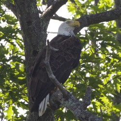 A bald eagle perches in the shade of a tall oak tree at the edge of Hermon Pond in Hermon in this July 2015 file photo.