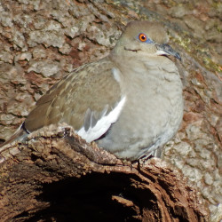 Mourning doves a top game bird in much of the U.S.
