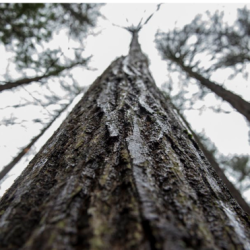 This tallest American Chestnut tree in North America was recently discovered in Maine.