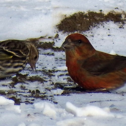 A pine siskin and a red crossbill share a meal.