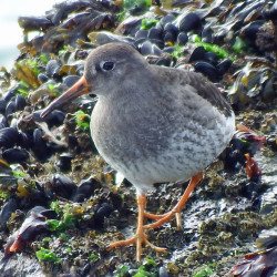 A purple sandpiper at Schoodic Point