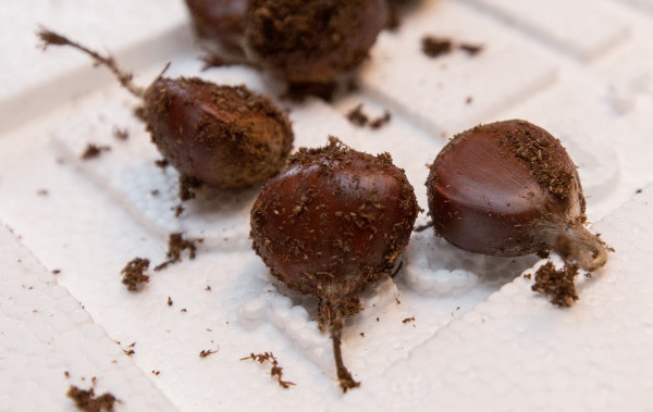 American chestnut seeds at Glen Rea's home in Bangor are the result of years breeding blight resistance from the Chinese chestnut tree into the American chestnut, while keeping the American tree's characteristics.