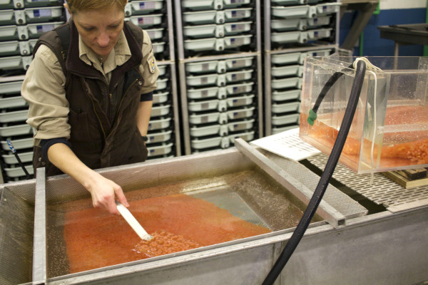 Denise Buckley, fisheries biologist at Craig Brook National Fish Hatchery, sorts through Atlantic salmon eggs Tuesday at the Craig Brook National Fish Hatchery. The eggs came from salmon the hatchery captured on the Penobscot River and spawned at the hatchery.