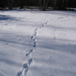 Winter tracks at the Appleton Preserve