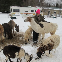 Lynn Stark, founder and owner of Samsara Exotic Animal Refuge, cares for a llama, one of the more than 150 animals living at the refuge.