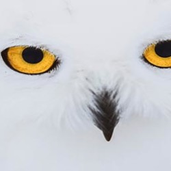 Don't look now, Maine is in the midst of a Snowy Owl Irruption.