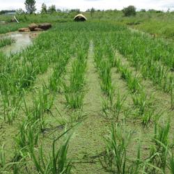 A rice paddy field at Wild Folk Farm in Benton, Maine