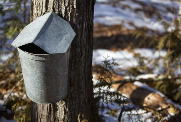 A sap collecting bucket sits at Nutkin Knoll Farm and Sugarworks in Newburgh Saturday.