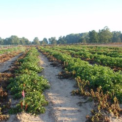 Genetically engineered potatoes approved for Maine