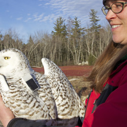 Snowy owls infiltrate Maine, stirring questions about human-wildlife relations