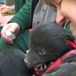 Getting an up close look at bear cubs