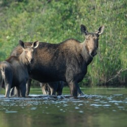New data led to 25 percent reduction in moose permits, biologist says