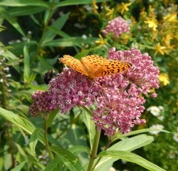 Swamp milkweed / Asclepias incarnata, is a native perennial to Maine, valued by butterflies.