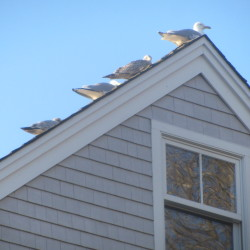 Seagulls line the roofs of homes in a Camden neighborhood. A group of residents have asked the Select Board to develop a local law to prohibit the excessive feeding of wildlife.