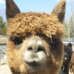 A curious alpaca waits for treats from Andy Tardie at Aroostook Fiber works in Ashland. Tardie and his wife, Roxanne, turn the alpacas' fiber and fiber from clients into yarn, roving and felt at their Ashland mill.