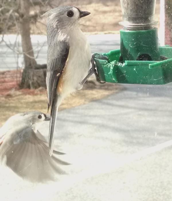 A tufted titmouse perches on a bird feeder.