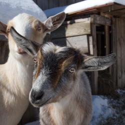 Goat's milk the secret ingredient for Maine farm's homemade soap