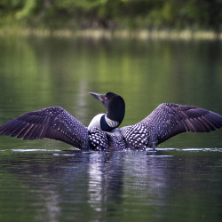 Lincoln's Homecoming Loon Festival set for July 20-23