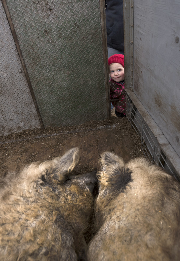 Rare Wooly Pig Goes From Near Extinction To A Maine Farm