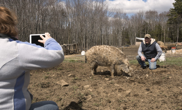 Emily Ireland takes a picture of her husband Jerry Ireland with one of the two new mangalitsa pigs on their farm, Ireland Hill Farms in Swanville on Wednesday. The pigs were delivered by the Baker family who raises the animals, at Bakers Green Acres farm in Marion, Michigan. Mangalitsa pigs are prized for the quality of their meat.