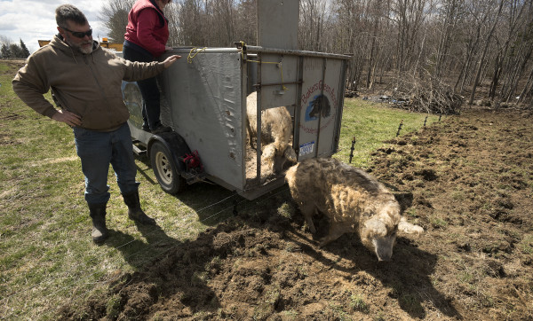 Mark Baker releases the two mangalitsa pigs he brought to Ireland Hill Farms in Swanville on Wednesday. The Baker family raises the animals at Bakers Green Acres farm in Marion, Michigan. Mangalitsa pigs are prized for the quality of their meat.