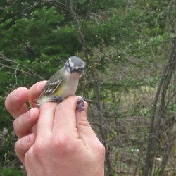 Blue-headed vireo, a common forest bird with a big voice.