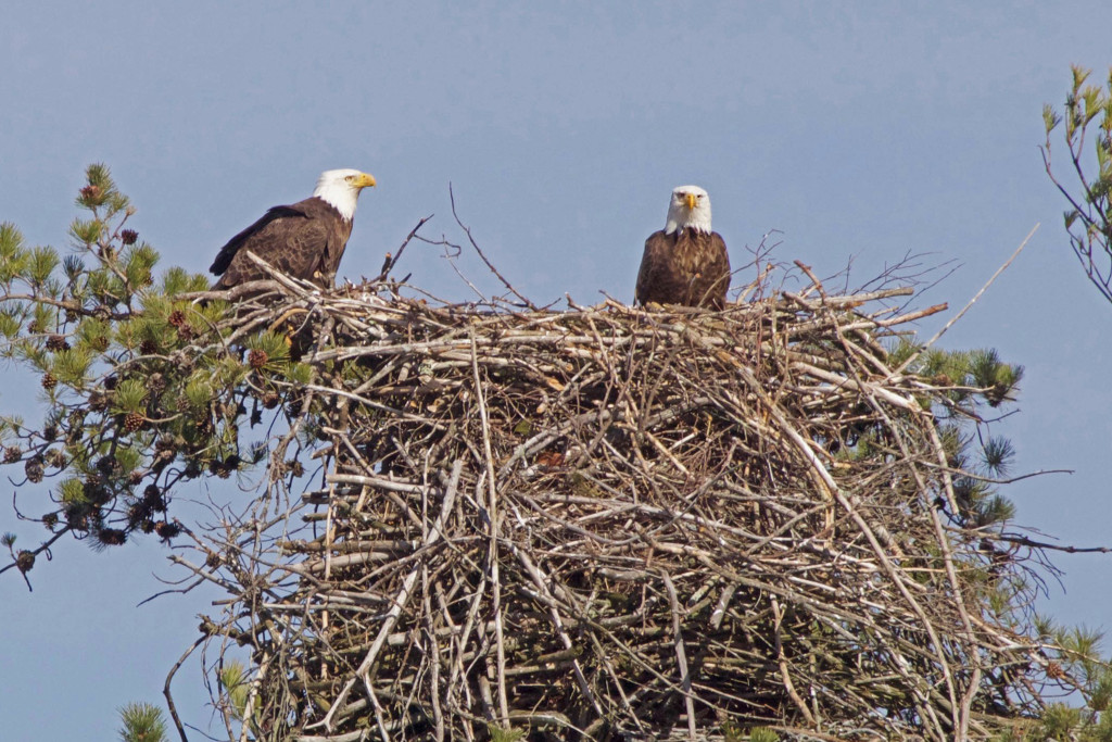 "BDN photo Aislinn Sarnacki Two bald eagles. ""Seriously? No fish? I can't even look at you."""