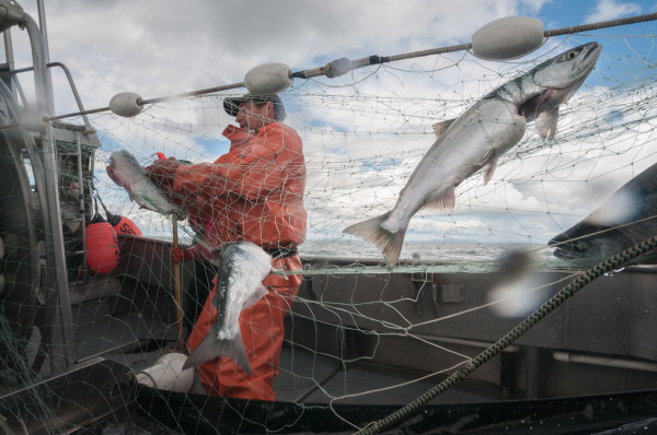 Wild salmon is caught by Matt Luck's crew and delivered to several points in Maine.