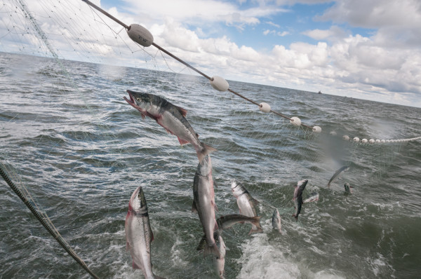 Wild salmon is caught by Matt Luck's crew in the height of the season and delivered to several points in Maine in October.