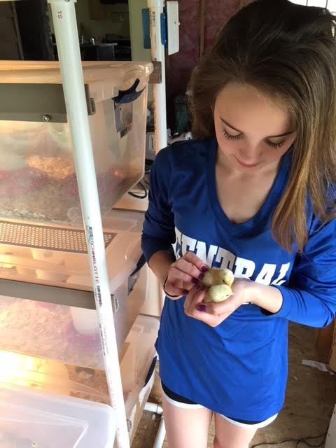 Maddie DeMoranville, 13, holds a clutch of Mille Fleur bantam chicks on Thursday morning at 4D's Farm in Bradford, where her family raises many chickens and other birds.