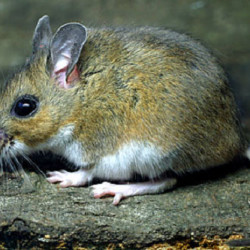 A white-footed mouse