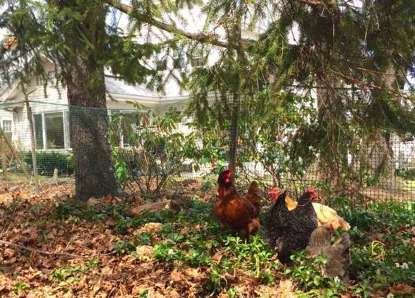 Why Backyard Chickens Are A Good Step To Food Independence