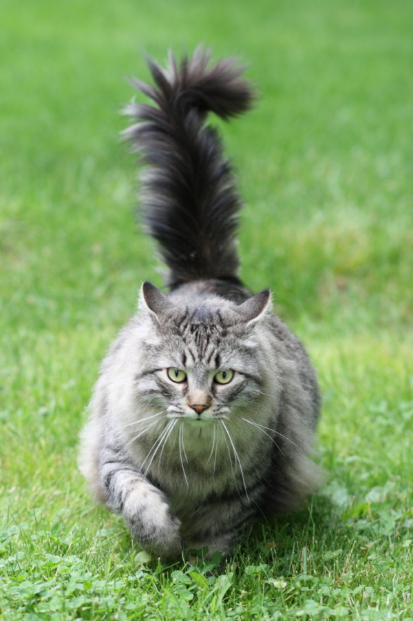 Are Maine coon cats really from Maine? — State — Bangor