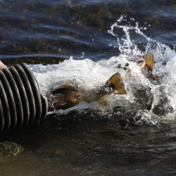 Salmon being stocked in Moosehead Lake. Photo courtesy of the Maine Inland Fisheries & Wildlife.