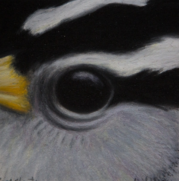 White-Crowned Sparrow, April 18, 2011, oil pastel on paper by Rev. Paul Plante.