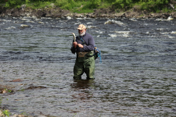 An American shad slips out of Denis Dauphinee's hands during a shad-fishing trip on June 10 on the Penobscot River in Old Town.