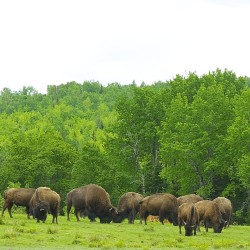 About 33 bison roam the 50 acres on June 5 on Tatonka Spirit Ranch in Smyrna.