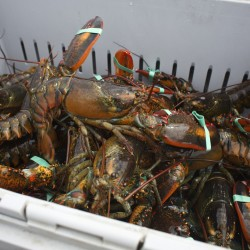 Lobster lay in a crate at the Stonington Lobster Co-op dock in this Aug. 15, 2014, file photo.